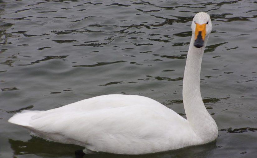 白鳥を見に行ってきました