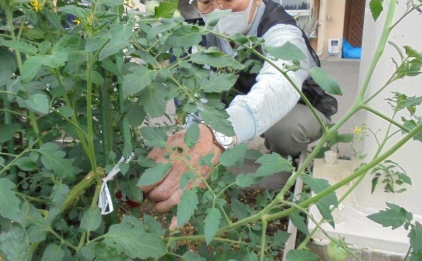<デイおおの>ミニトマトが本格的な初収穫を迎えました🍅